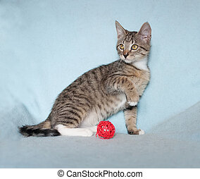 Tabby kitten sits with his front foot, on blue background