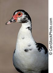 Muscovy duck - Black and White Muscovy duck with red face