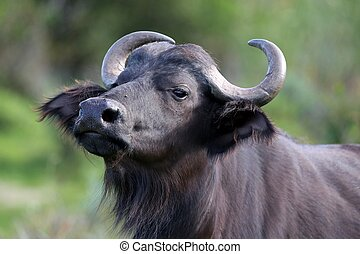 Curious Buffalo - Young buffalo bull will alert look and...