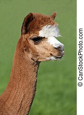 Alpaca Portrait - Brown and white Alpaca portrait with funny...