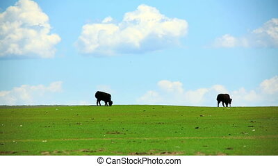 Animals grazing on grassland, mongolia