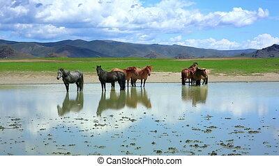 mongolian horses in vast grassland, mongolia - mongolian...