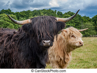 Highland Cattle - Highland Longhorn Cattle