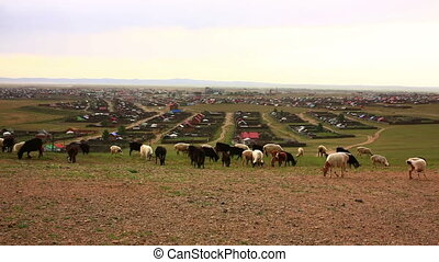 Flock of sheeps moving, Kharkhorin, Mongolia - Flock of...