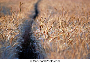 Wheat field - Empty countryside path through fields of wheat...