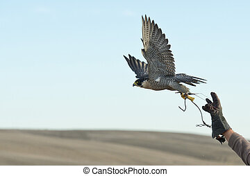 Falcon leaping into flight - A Peregrine Falcon leaping into...