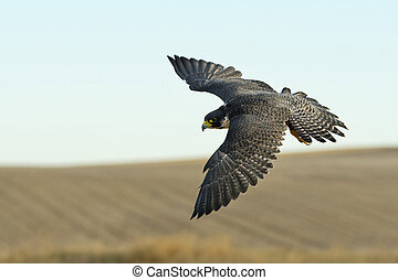 Flying Peregrine Falcon - A female Peregrine Falcon in...