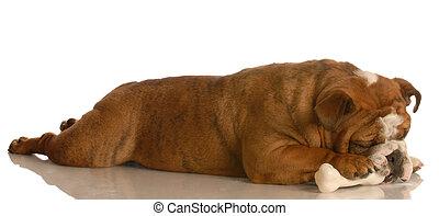 dog chewing on dog bone - english bulldog laying down...