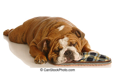 dog with slipper - naughty english bulldog that has taken...