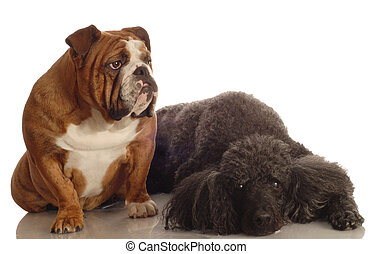 bulldog and standard poodle - red brindle english bulldog...