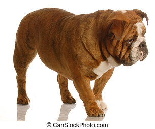 dog walking - red brindle english bulldog walking isolated...