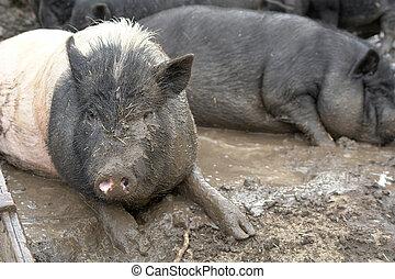 大きい, 豚