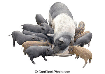 Pigs, on a white background