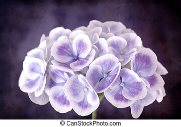 Purple Hydrangea with Grunge Effects - Purple and white...