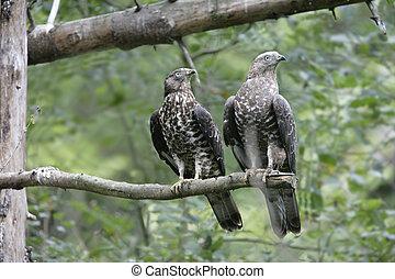 Honey buzzard, Pernis apivorus, two birds on a branch,...