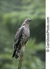Honey buzzard, Pernis apivorus, single bird on branch,...