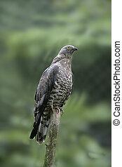 Honey buzzard, Pernis apivorus, single bird on branch,...