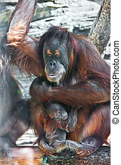 Orangutan - Great ape red Bornean Orangutan with cute baby