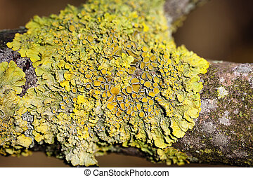 Common orange lichen - Xanthoria parietina in a macro shot