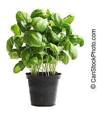 Basil - Genovese Basil plant Ocimum basilicum, sweet basil...