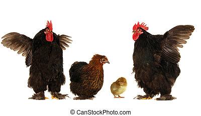 母雞, 公雞