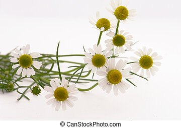 medical camomile  over white
