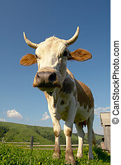 cow on a green background