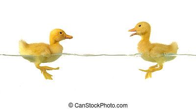 two duck - two swimming nestling of duck on white background...