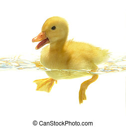 duck - swimming nestling of duck on white background