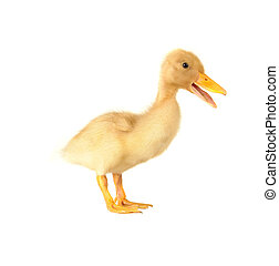 duck on a white background