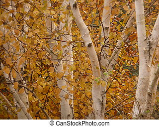 Silver Birches - Silver birch trees with white textured bark...