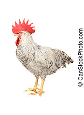 white cock  -   white cock on a white background