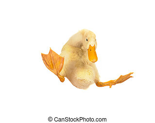 duck  - falling of duck on white background