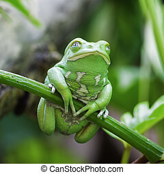 Green monkey frog in forest