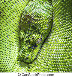 green tree python eye - Eye of green tree python