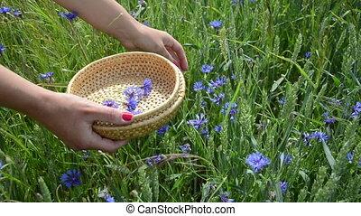 hand pick cornflower herb - Closeup of herbalist girl hand...