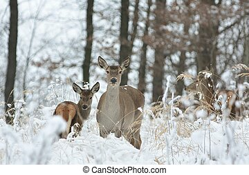 Roe deer standing in a snowdrift on the edge of the forest.