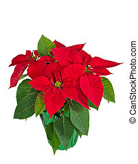 Red poinsettia isolated - Red poinsettia (Euphorbia...