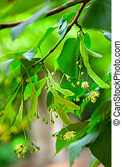 Lime-tree blossoms .Tilia species are large deciduous trees,...