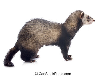 brown ferret