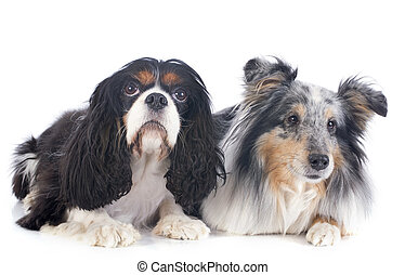 shetland dog and cavalier king charles - portrait of a...