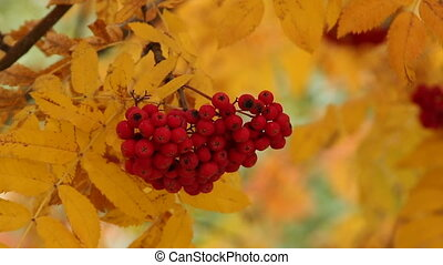 Bunch of the red and yellow leaves of mountain ash