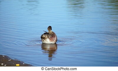 Young duck on water in summer day