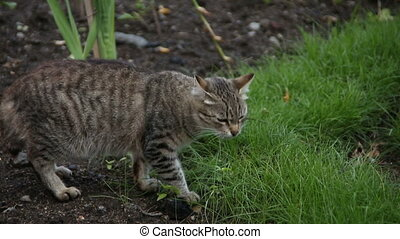 Grey cat eats grass