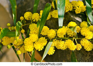 Mimosa tree - Branch of mimosa tree with fluffy blooming...