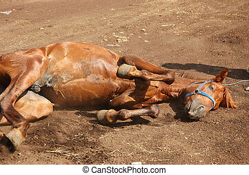 Brown Horse - A brown horse get lay down in the ground