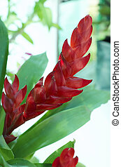 Red Bromeliads in the garden