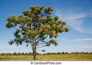 yellow flamboyant tree - peltophorum pterocarpum, small...