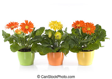 Gerbera Daisies in pots isolated on white