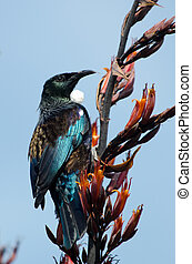 Tui - Bird of New Zealand - Tui Prosthemadera...